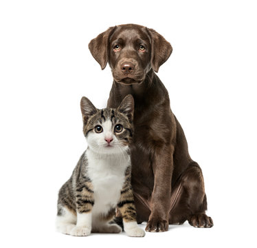 Puppy Labrador Retriever sitting, kitten domestic cat sitting, i