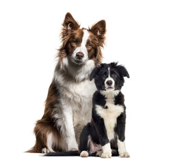 Puppy border collie dog, Border Collie, in front of white backgr
