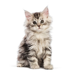Wall Mural - Maine coon kitten, 8 weeks old, in front of white background