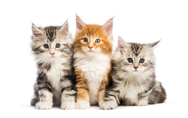 Maine coon kittens, 8 weeks old, lying together, in front of whi