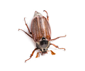 Summer chafer or European june beetle, Amphimallon solstitiale,