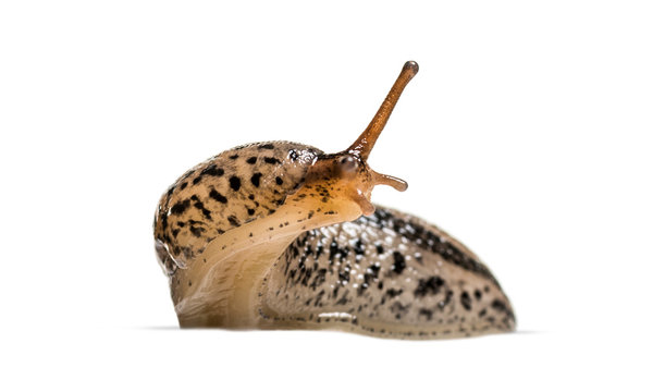 Limax maximus, literally, 'biggest slug', known by the common na