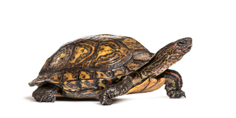 Ornate or painted wood turtle, Rhinoclemmys pulcherrima, in fron