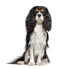 Cavalier King Charles Spaniel, 2 years old, in front of white ba