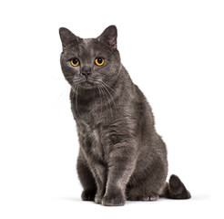 British Shorthair, 4 years old, in front of white background