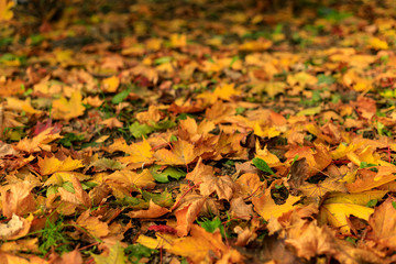 Yellow fall leaves of maple on the ground in the forest.  Macro photo of colorful foliage in sunlight. Autumn countryside on a sunny day. Tilt-shift effect. Soft focus.