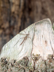 crane fly summer day close up macro on wood bark outside nature