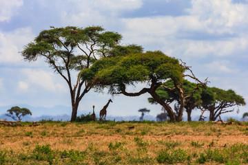 Acacia tree in the open savanna mara kenya
