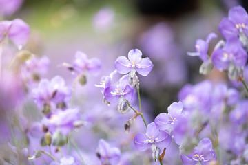 Close-up of Beautiful Pastel Purple Murdannia Flower in the Flower Field in Prachinburi, Thailand