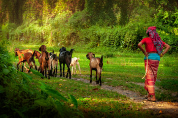 Woman shepherd walking with goats in forest, Nepal, Asia