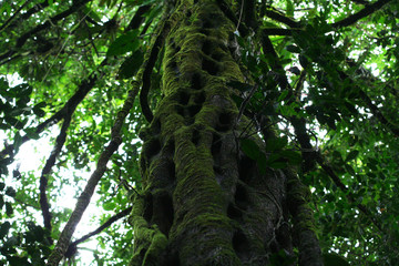 Beautiful mystical old tree growing in jungle of French Guiana.