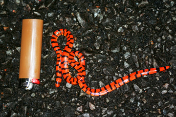 small false coral snake (Anilius scytale) photographed in French Guiana