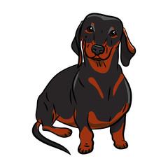 Dog. Dachshund. Hand-drawn Dog. Realistically Painted Dachshund. Transparent background. Vector illustration. White isolated. Print