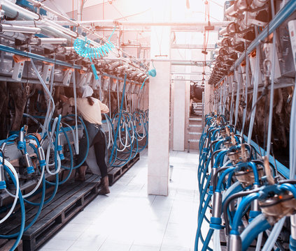 A modern dairy farm for milking cows and harvesting milk, the milkmaid's girl milks the cows with the help of modern automatic equipment
