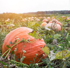 Large pumpkins that lie in the autumn field, close-up, squash