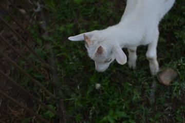 little domestic goat