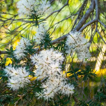 Melaleuca alternifolia in Japan