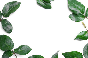 Rose leaves isolated on white