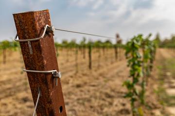 Viticoltura, impianto di nuove viti e barbatelle, con tiranti arrugginiti e vissuti