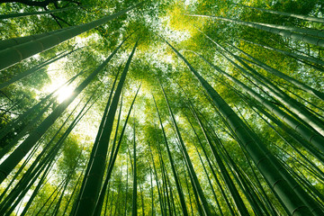 Wall Murals Bamboo Arashiyama bamboo forest in Kyoto, Japan.