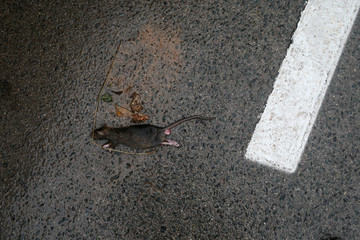A dead rat lies on a street after a heavy rain and flash floods hit Campillos