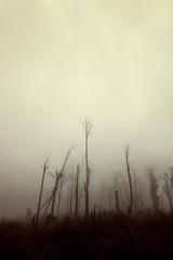 Foggy Landscape With Trees Standing Tall