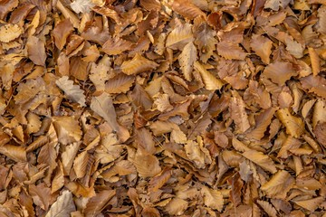 Full-size forest floor with autumnal beech and oak leaves as background