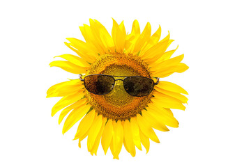 Sunflower wearing black sunglasses on white background.Saved with clipping path