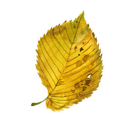 Watercolor illustration, image of autumn yellow leaf.
