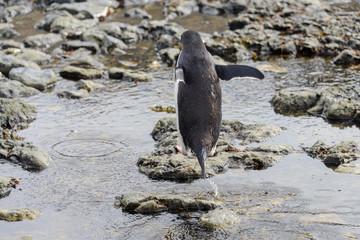 Gentoo penguin going on beach in Antarctica