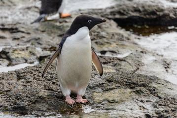 Adelie penguin standing on beach in Antarctica