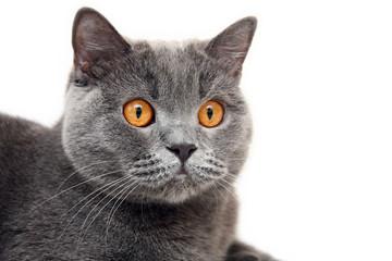 Portrait of blue British cat with big orange eyes on white background. Head of a British cat with orange eyes close-up.