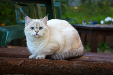 British Shorthair cat sitting on a bench in the garden and looking at the camera. The color of the cat is black golden shaded pointed with blue eyes.