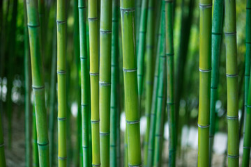 Green bamboo stalks close up