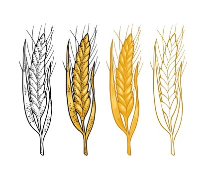 Ear of wheat. Vector vintage color and monochrome engraved illustration.