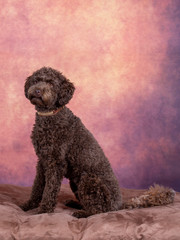 Australian labradoodle puppy portrait. Image taken in a studio with brown background.