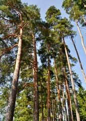 Hohe Kiefernbäume