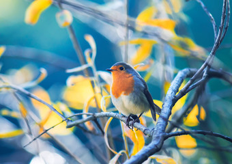 cute little bird Robin with orange breast sitting on the branches in the autumn Sunny Park