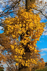 """The height of the """"Indian summer"""" in the Alexander garden. Yellow leaves-a symbol of Golden autumn."""