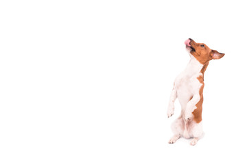 Small Jack Russell Terrier dog  is sitting on his legs and looking up - Dog isolated against white background