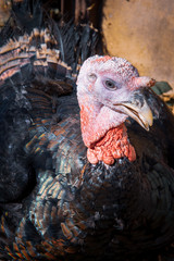 Head of turkey