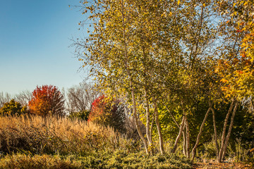 A fall scene of group of birch trees, grasses, and red maple trees with a blue sky.
