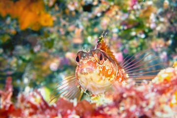 Island kelpfish resting on ocean bottom