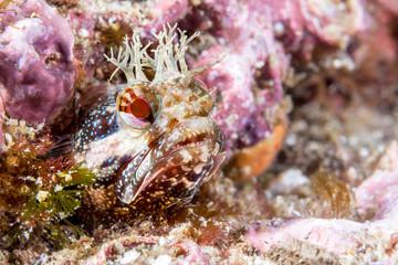 Close up of yellowfin fringehead blenny