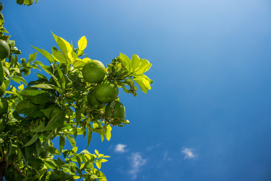 food concept of lime fruits on green tree branches on blue sky background with empty space for copy or text and sun light and glares