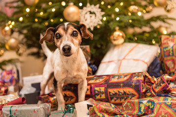 Jack Russell Terrier 11 years old. Dog is standing at the Christmas Eve in front of a Christmas tree with many gifts and is looking forwards