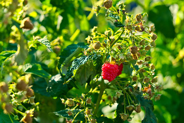 A branch of raspberry with ripe and green berries.