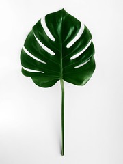 Monstera leaf Close-up photo in top view Tropical plant Lush monstera on white background Isolated photo