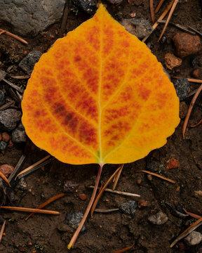 Orange and Yellow Aspen Leaf