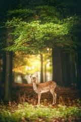 Deer attentive looking